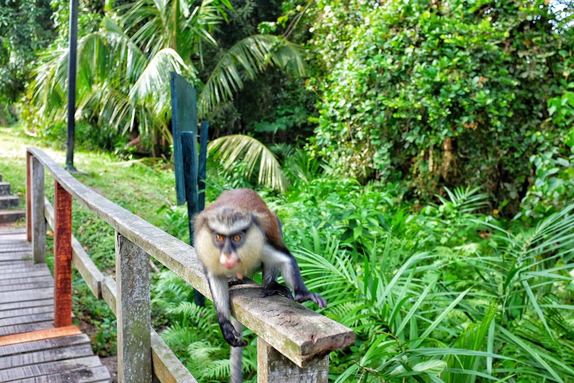 Monkey at Lekki Conservation Centre