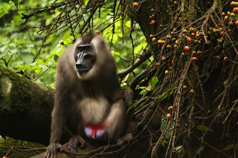 Drill monkey centre, Calabar